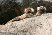 White-headed marmosets sitting on a rock — Stock Photo