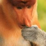 Portrait of Proboscis monkey eating, Borneo, Malaysia — Stock Photo #43969161