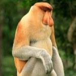 Proboscis monkey sitting on a tree, Borneo, Malaysia — Stock Photo #44112875