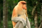 Nasalis larvatus sentado en un árbol, borneo, Malasia — Foto de Stock