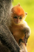 Young baby of Silvered leaf monkey, Sepilok, Borneo, Malaysia — Stock Photo
