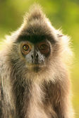 Silvered leaf monkey, Sepilok, Borneo, Malaysia — Stock Photo