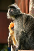 Silvered leaf monkey with a young baby, Borneo, Malaysia — Foto Stock
