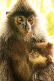 Silvered leaf monkey with a baby, Borneo, Malaysia — Stock Photo