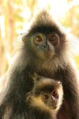 Silvered leaf monkey with a baby, Borneo, Malaysia — Foto Stock
