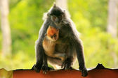 Silvered leaf monkey with a young baby, Borneo, Malaysia — Stock Photo