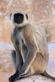 Gray langur sitting at the temple, Pushkar, India — Foto de Stock