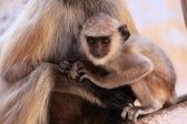 Presbite grigio bambino seduto con la madre, pushkar, india — Foto Stock