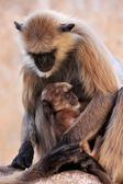 Gray langur with a baby sitting at the temple, Pushkar, India — Stock Photo