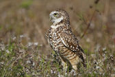 Burrowing Owl standing on the ground — Stock Photo