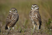 Burrowing Owls standing on the ground — Zdjęcie stockowe