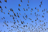 Flock of demoiselle crains flying in blue sky, Khichan village,  — Stockfoto