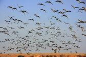 Flock of demoiselle crains flying in blue sky, Khichan village, — Stock Photo