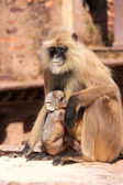Gray langur (Semnopithecus dussumieri) with a baby sitting at Ra — Stock Photo