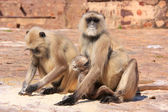 Gray langurs (Semnopithecus dussumieri) with a baby sitting at R — Stock Photo
