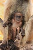 Baby grijze langur (semnopithecus dussumieri) rusten in moeders een — Stockfoto