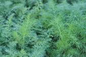 Hintergrundbild des grünen Dill in Tau-Nahaufnahme — Stockfoto