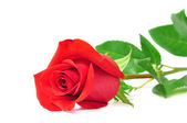 красная роза, изолированные на белом фоне, романтика — Стоковое фото