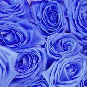 Romantic festive background with blue roses — Stock Photo