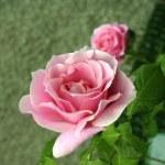 ������, ������: Conrad Ferdinand Meyer Garden Rose