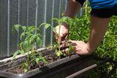 若い植物を植えたメス手 — ストック写真