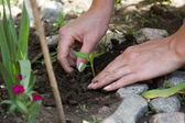 Young plant planted female hands — Stock fotografie