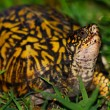 Eastern Box Turtle — Stock Photo