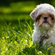 Shih Tzu Dog — Stock Photo #12830966