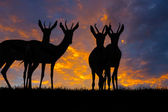 Springbok Silhouette — Stock Photo