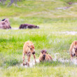 Wild Bison Calves at Yellowstone — Stock Photo