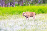 Wild Bison Calf at Yellowstone — Стоковое фото