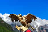 Falcon at Yulong Snow Mountain — Stock Photo