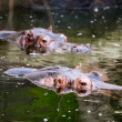 HIppos in water — Stock Photo