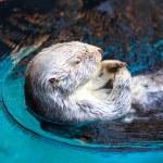 Постер, плакат: Sea Otter Enhydra Lutris