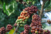 Coffee tree — Stock Photo