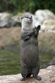 Waving Otter? — Stock Photo