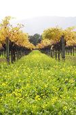 Wijngaard — Stockfoto