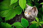 A photo of kitten of Britisher is in vine leaves — Foto de Stock