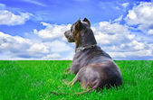Dog which looks far — Stock Photo