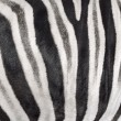 The structure of hide of zebra — Stock Photo