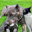 Dog with a cat play a ball on a grass — Stock Photo