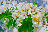 Blooming cherry branch on a background of the sky — Stock Photo