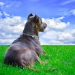 Dog lying on the grass and gazing far — Stock Photo