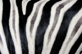 The structure of zebra skin. Close-up. — Stock Photo