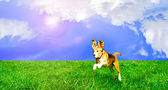 Playful cute dog jumping on a lawn — Stock Photo
