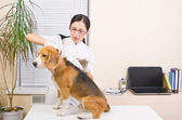 Veterinary makes an injection of dog breed of beagle — Stock Photo
