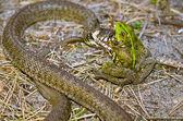 Snake eating frog — Stock Photo