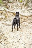 모래 절벽에 서 있는 개 — Stockfoto