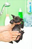Bathing cute little black kitten — Stock Photo