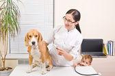 Veterinarian measures the body temperature of a beagle dog — Photo